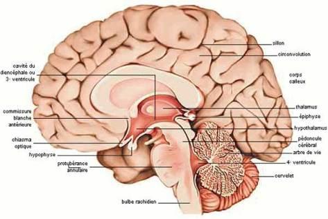 coupe-cerveau-02