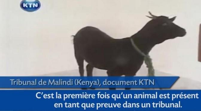Kenya: Une chèvre assiste au procès de son violeur