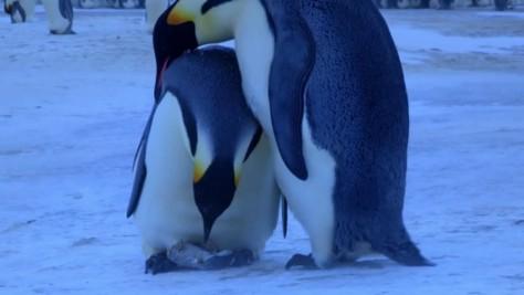 Empereurs-Pingouins-Mort-Bébé-620x350